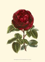 Magnificent Rose III Fine-Art Print