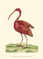 Red Ibis Fine-Art Print