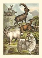 Johnson's Goats Fine-Art Print