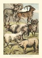 Johnson's Sheep Fine-Art Print