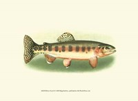 River Trout II Fine-Art Print
