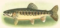 River Trout III Fine-Art Print