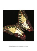 Small Dramatic Butterflies III Fine-Art Print