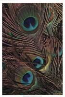 Peacock Feathers IV Fine-Art Print
