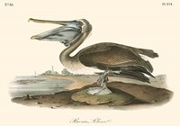 Brown Pelican (horizontal) Fine-Art Print