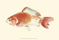 Common Goldfish Fine-Art Print