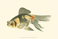 Telescope Goldfish Fine-Art Print