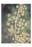 Queen Ann's Lace I Fine-Art Print