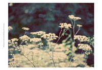 Queen Ann's Lace II Fine-Art Print