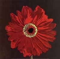 Midnight Gerbera III Fine-Art Print