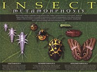 Insect Metamorphosis Wall Poster