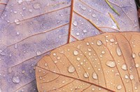 Waterdrops on Magnolia Journal Fine-Art Print