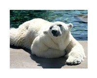 Polar Bear on the floor Fine-Art Print