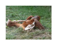 Orangutan - Stretchin out Fine-Art Print