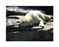 Polar Bear  - Time to take five Fine-Art Print