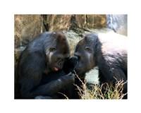 Gorillas - Look what I found! Fine-Art Print