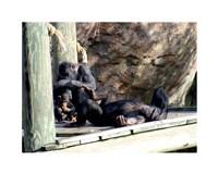 Chimps - Just Chillin Fine-Art Print
