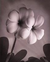 Plumeria I - mini Fine-Art Print