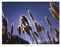 Pampas Grass, Provence Fine-Art Print
