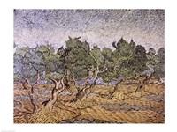 Olive Orchard, Violet Soil Fine-Art Print