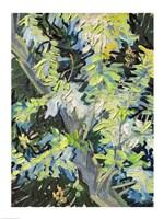 Acacia in Flowe Fine-Art Print