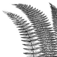 Fern I (on white) Fine-Art Print