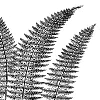 Fern II (on white) Fine-Art Print