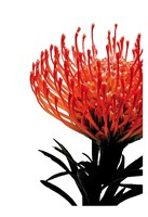 Orange Protea 1 Fine-Art Print