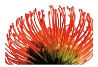 Orange Protea 2 Fine-Art Print