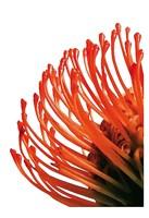 Orange Protea 4 Fine-Art Print