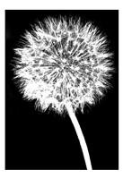 Dandelion Fine-Art Print