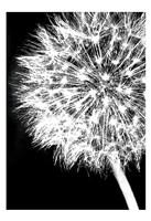 Dandelion Crop Fine-Art Print