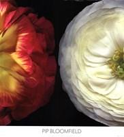 Ranunculus Left Fine-Art Print