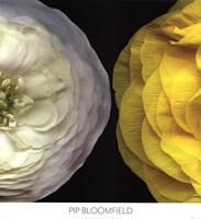 Ranunculus Right Fine-Art Print