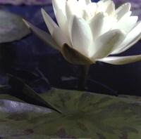 Water Lillies II Fine-Art Print