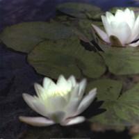 Water Lillies I Fine-Art Print
