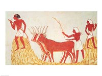 Using cows to trample wheat, from the Tomb of Menna Fine-Art Print