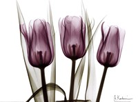 Trio of Tulips I Fine-Art Print