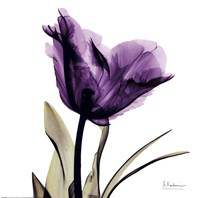 X-ray Royal Purple Parrot Tulip Fine-Art Print