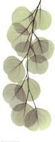 X-ray Eucalypus Branch II Fine-Art Print