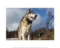 Alaskan Malamute Dog Fine-Art Print