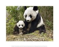 Panda Mother and Cub Fine-Art Print
