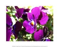 Purple Pansy Fine-Art Print