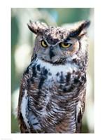 Great Horned Owl Close Up Fine-Art Print