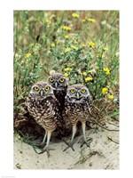 Burrowing Owls Fine-Art Print