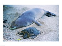 Hawaiian Monk Seal with Green Turtle relaxing on the sand Fine-Art Print