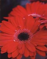 Red Gerbera Daisies II Fine-Art Print
