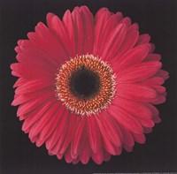 Gerbera Daisy Pink Fine-Art Print