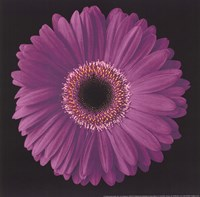 Gerbera Daisy Purple Fine-Art Print
