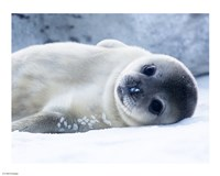 Baby Seal Fine-Art Print